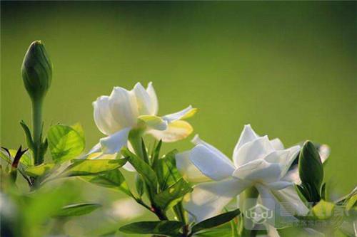 家里养栀子花有哪些风水作用?