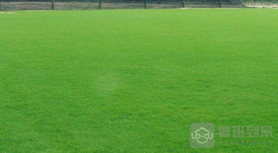 地毯草草坪